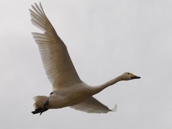 20120226_Swan05.JPG