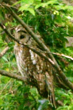 20150524_Owl2.jpg