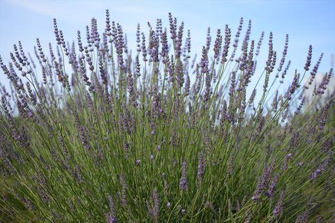 20170617_Lavender1.JPG